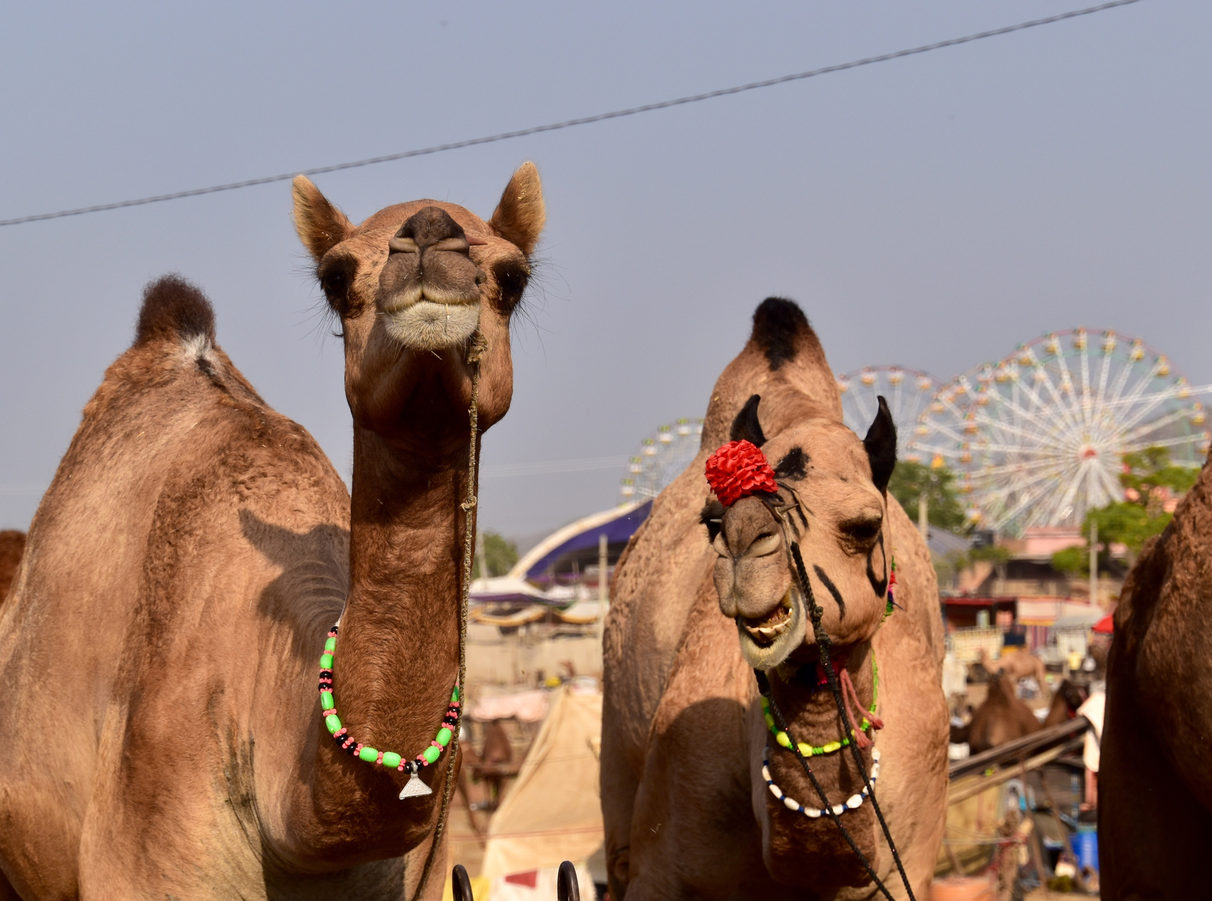 Camels hanging out